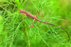 Real lizard resting on a wet green leaf. With blur background Royalty Free Stock Images