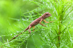 Real lizard resting on a wet green leaf with blur background. Real lizard resting on a wet green leaf for background Stock Images