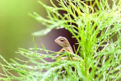 Real lizard resting on a wet green leaf with blur background. Real lizard resting on a wet green leaf for background Stock Photos