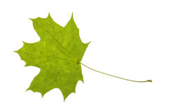 Real maple leaf isolated Stock Images