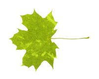 Real maple leaf with spots isolated Stock Photos