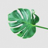 Real monstera leafnature concepts ideas. Clipping path stock photos