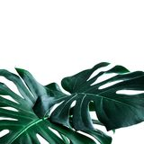 Real monstera leaves decorating for composition design.Tropical,botanical nature concepts royalty free stock photos