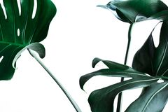 Real monstera leaves decorating for composition design.Tropical,botanical nature concepts stock images