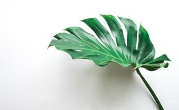 Real monstera leaves on white background.Tropical,botanical. Nature concepts ideas.flat lay.top view Royalty Free Stock Photo
