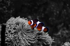 Most popular fish are more and more interesting to have and enjoy in them in our aquariums. Real nemo in coral reef aquarium tank royalty free stock photos