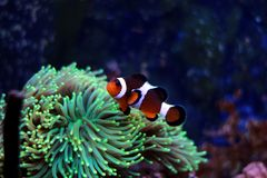 Most popular fish are more and more interesting to have and enjoy in them in our aquariums. Real nemo in coral reef aquarium tank stock photos