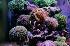 Most popular fish are more and more interesting to have and enjoy in them in our aquariums. Real nemo in coral reef aquarium tank stock photography
