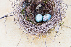 Real nest and blue spotted chipping sparrow eggs. On tan craqlaquere background stock photography
