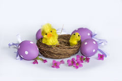 Real nest with purple easter  eggs and yellow chickens Stock Photo