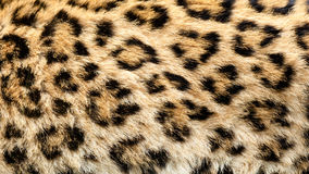 Real North Chinese Leopard Skin Background Royalty Free Stock Photography