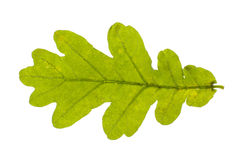 Real oak leaf isolated Stock Photo
