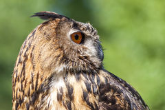Free Real Owl, Bubo Bubo Stock Photos - 93049353