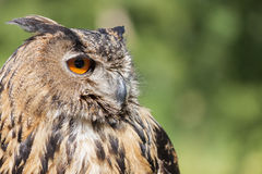 Free Real Owl, Bubo Bubo Royalty Free Stock Photography - 93049997