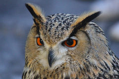 Real owl. A real owl in the evening Stock Image