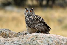 Real owl poses at a usual innkeeper. A real owl poses at a usual innkeeper royalty free stock image