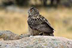 Real owl poses at a usual innkeeper. A real owl poses at a usual innkeeper royalty free stock photography