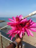 Red lily flower at sea of srilanka stock image