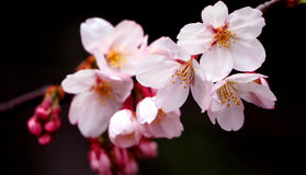 Real pink sakura flowers or cherry blossom close-up. Stock Photo