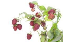 Real raspberry on branches Stock Photo