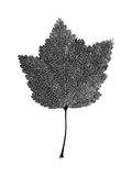 Real red currant leaf structure greyscale isolated. Tree leaf isolated on the white background Stock Photos