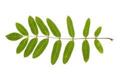Real rowan leaf isolated Stock Photos