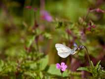 Real's Wood White (Leptidea reali), Sweden stock image