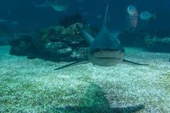 Real Shark Underwater in Natural Aquarium. Real Shark Underwater in Blue Natural Aquarium Royalty Free Stock Image