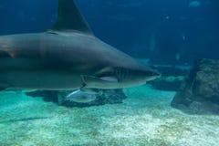 Real Shark Underwater in Natural Aquarium.  Royalty Free Stock Photos
