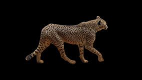Real shot Cheetah slowly walking with alpha seamlessly looped