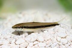 Real siamese algae eater catfish Crossocheilus oblongus aquarium fish Stock Photo
