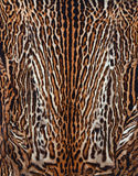 Real skin of leopard background. Beautiful real skin of leopard texture Royalty Free Stock Photo