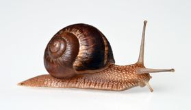 Real snail isolated Stock Photos
