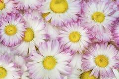 Real spring pink daisies macro Royalty Free Stock Photography