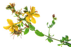 Real St. John& x27;s wort & x28;Hypericum perforatum& x29;. Flowering plant isolated against white background Stock Photography