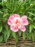 The real star of this season: a pink peony flower royalty free stock image