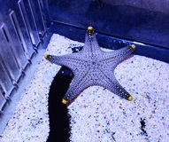 Real starfish Stock Photography