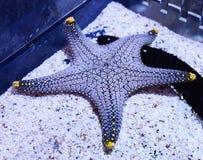 Real starfish Stock Photos