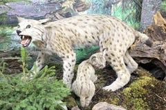 Real stuffed lynx. Museum of the Tatra National Park - Tatranska Lomnica, Slovakia Stock Image