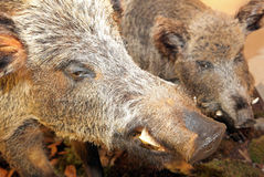 Real stuffed wild boar Stock Photos