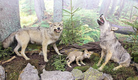 Real stuffed wolf Royalty Free Stock Images