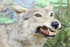 Real stuffed wolf Stock Photography