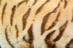 Real Tiger Fur Texture Stock Photography