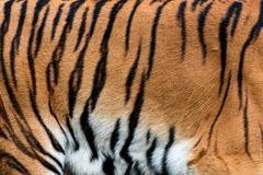 Tiger skin texture for background. Real tiger skin fur texture for background royalty free stock images