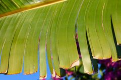 Real tropical leaves background, jungle foliage. Closeup, macro of Traveler`s Palm, Ravenala Fan Palm leaf against blue sky backgr. Real tropical leaves Royalty Free Stock Images
