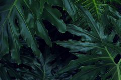 Real tropical leaves background, jungle foliage Royalty Free Stock Images