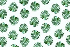 Real tropical monstera leaves pattern design on white color. Background.Nature and holiday summer concepts.Floral elements stock illustration