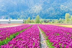 Real tulip farm fields with mountain the background, open to tourists at the Chilliwack Tulip Festival in Canada, with real. Canadian tulips stock images