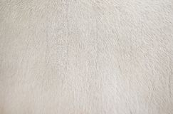 Real white cow fur clean texture,Natural abstract pattern animal background. Close up Real white cow fur clean texture,Natural abstract pattern animal background royalty free stock photo
