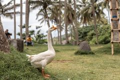 Real white goose on the grass outdoors. Bali island, Indonesia. Asia stock image